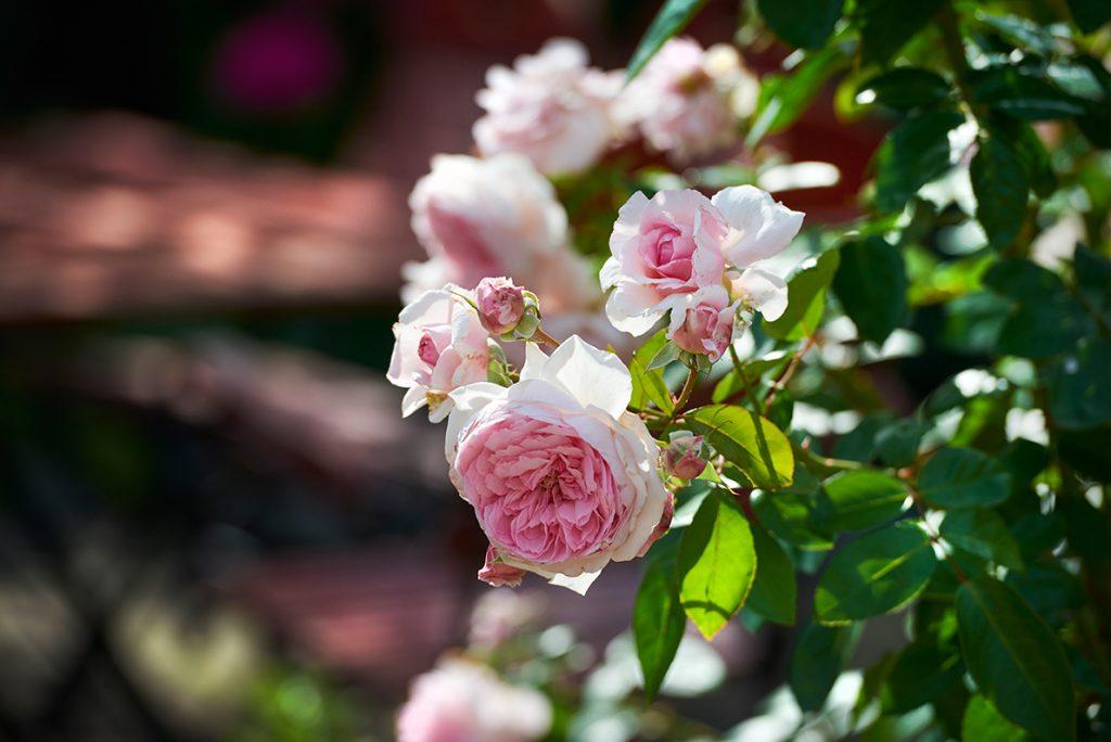 rosa-rosen-bericht-traumhaftes-landleben-von-kartoffeln-pferden-und-blaubeerkuchen-foto-maike-helbig-fuer-www.myotherstories.de